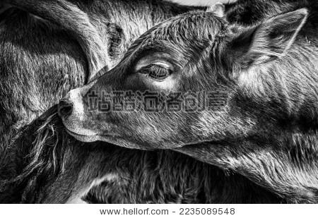牛 动物 黑白 毛发 光影 质感 头 尾巴 光影 背景 姿态 动作 眼睛
