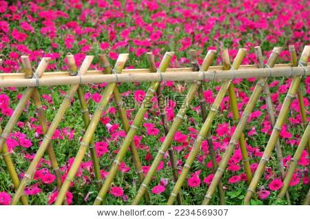 竹篱笆里牵牛花花海 - 站酷海洛正版图片, 视频, 音乐