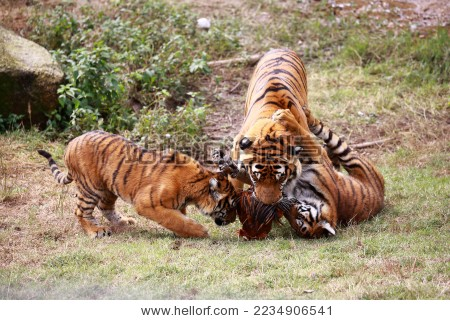 十大濒危动物,国家一级保护动物---中国华南虎的日常
