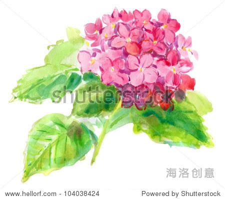 粉红色的绣球花白色背景.水彩