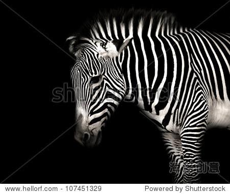黑白条纹的斑马在孤立的黑色背景 - 动物/野生生物