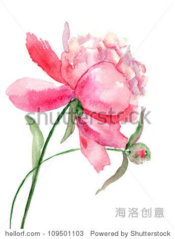 美丽的牡丹花,水彩画