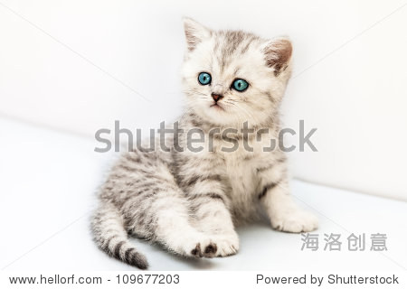 猫科动物的宠物小英国国内银虎斑猫,蓝色的眼睛