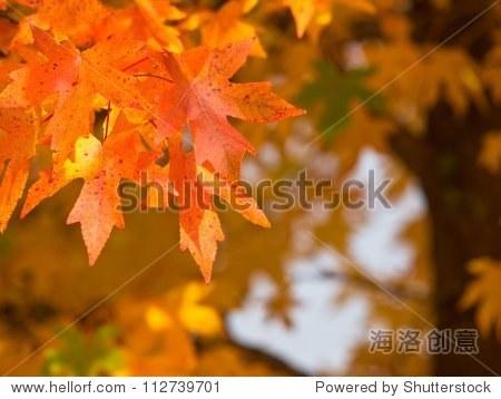 秋天的树叶在橡子树