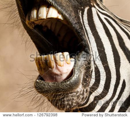 特写照片斑马的牙齿的嘴张开
