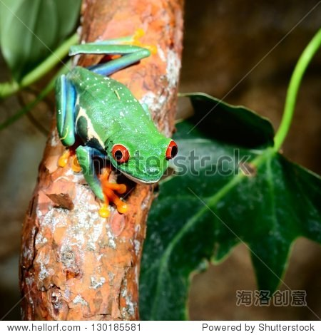 红眼树蛙agalychnis callidryas玻璃容器
