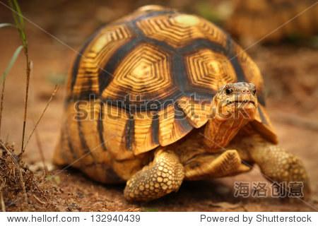 州假�yn�g._angonoka or ploughshare tortoise (astrochelys yniphora) in