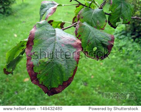 细菌性枯萎或火疫病的苹果树