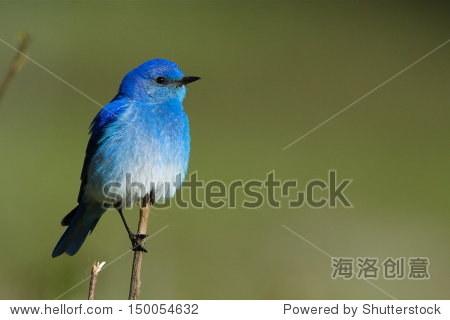 mountain bluebird perched against a natural green