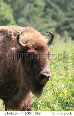 欧洲野牛的肖像照片 - 动物/野生生物 - 站酷海洛创意