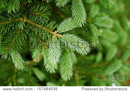 绿针松树的自然背景