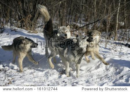 灰太狼,狼,群狼在雪地上,俘虏 - 动物/野生生物,自然