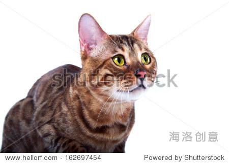 bengalensis猫孤立在白色背景. - 动物/野生生物