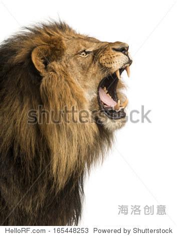 狮子咆哮的特写,孤立在白色的 - 动物/野生生物 - ,,.