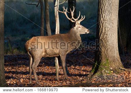 年轻的鹿在森林里-动物/野生生物,自然-站酷海洛创意