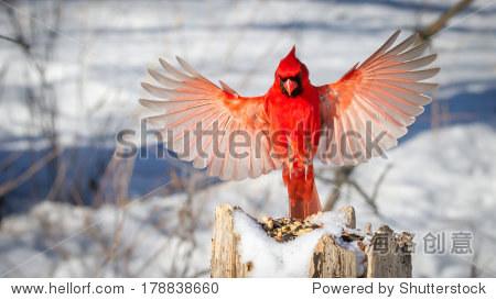 ��in9l$yi��d#9.�_male northern cardinal in flight (winter) landing