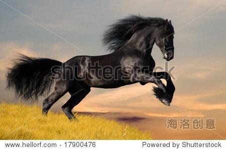 黑色的黑白花奶牛马疾驰
