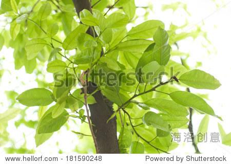 榕树的叶子在春天