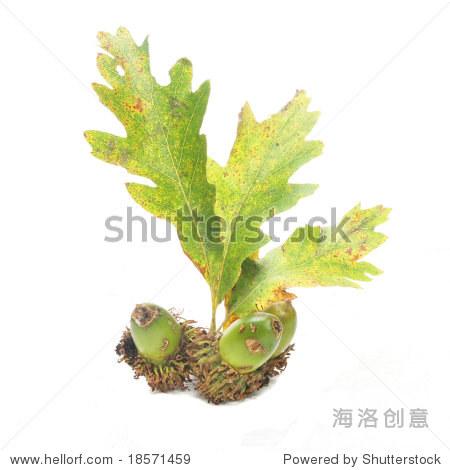 橡子和秋天的橡树叶子