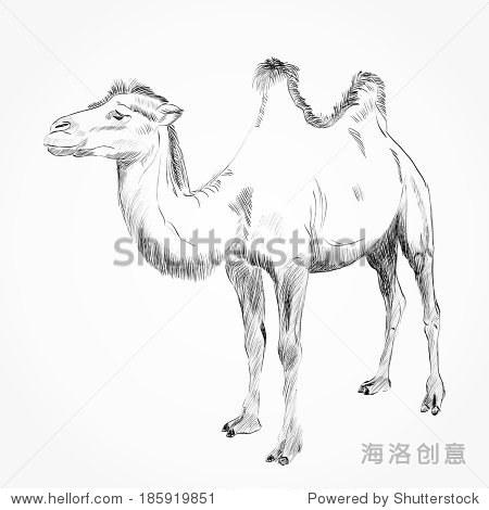 素描的骆驼在白色背景上 - 动物/野生生物,艺术 - ,,.
