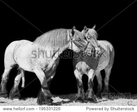 母马和马布拉班特品种 孤立在黑 动物 野生生物,自然 站酷海洛创意正版图片,视频,音乐素材交易平台 Shutterstock中国独家合作伙伴 站酷旗下品牌