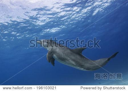 成人有酒糟鼻子的海豚