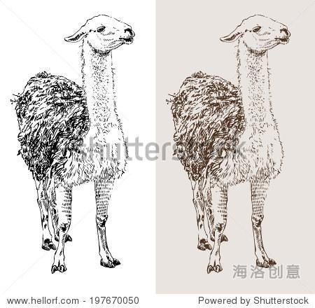 艺术品喇嘛,数字素描的动物,现实的黑白画和深褐色的版本,孤立在白色