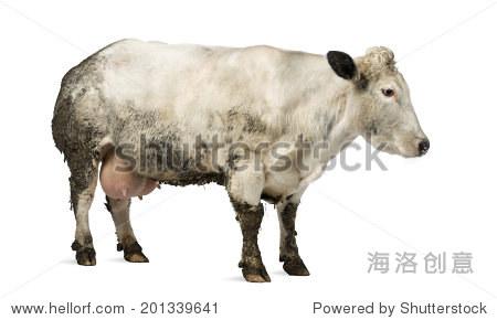 怀孕的母牛能吃酒糟吗