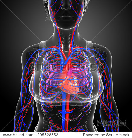 说明女性的心脏循环-教育,医疗保健-海洛创意正版图片图片