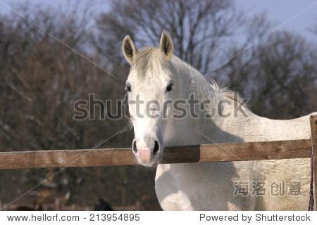 良种的白马站在冬天的畜栏 - 动物/野生生物,公园