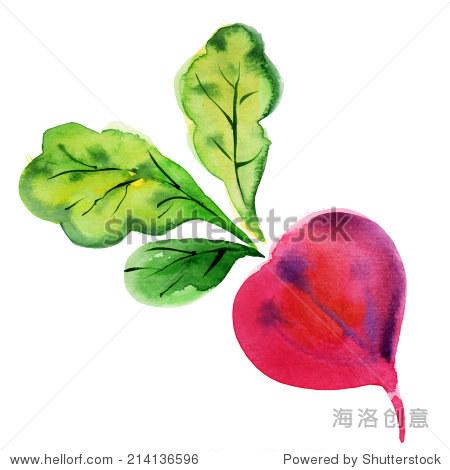 甜菜根和叶子.手绘水彩画在白色背景,矢量插图.