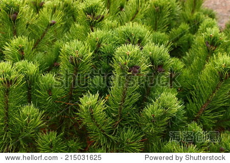 针叶树,松