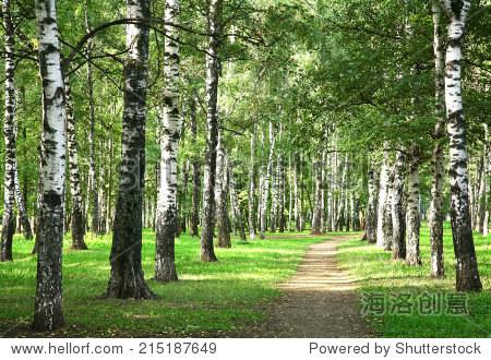 秋天的第一天早晨阳光明媚的桦树森林