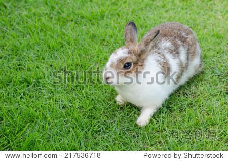 在绿色草地上的小兔子