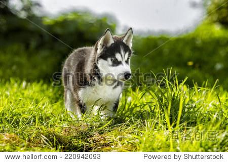 小狼狩猎猎物 - 动物/野生生物 - 站酷海洛创意正版
