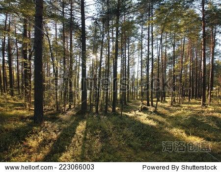 松树林夏天的风景
