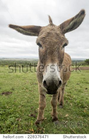 有趣的驴,大耳朵长 - 动物/野生生物 - 站酷海洛创意