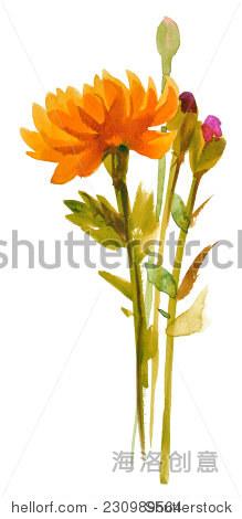 橙花水彩手绘,孤立在白色的 - 艺术,自然 - 站酷海洛