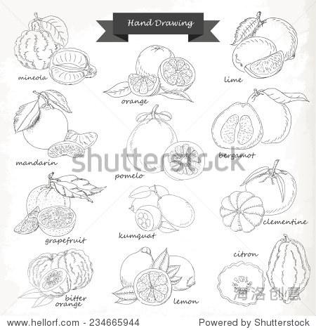 柑橘类水果.矢量手绘草图设计说明