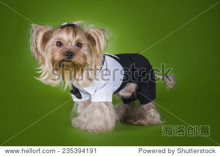 小狗穿西装的孤立的绿色背景 - 动物/野生生物 - 站酷