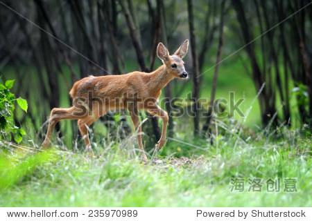 年轻的鹿在夏天森林-动物/野生生物,自然-站酷海洛,,.