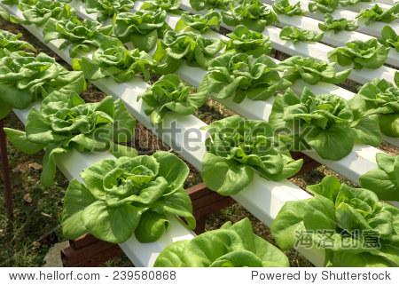 水培蔬菜在农场