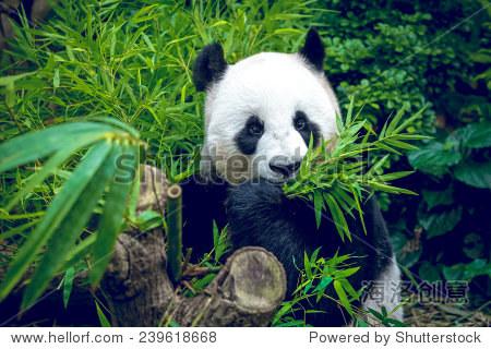 熊饿大熊猫吃竹子