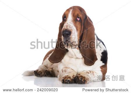巴塞特猎犬躺着 - 动物/野生生物,自然 - 站酷海洛,,.