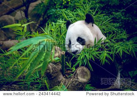 熊饿大熊猫吃竹子-动物/野生生物,自然-海洛创意正版