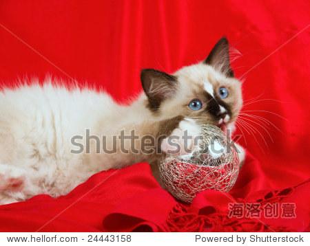 漂亮可爱的布偶猫小猫红织物背景,舔银色的球