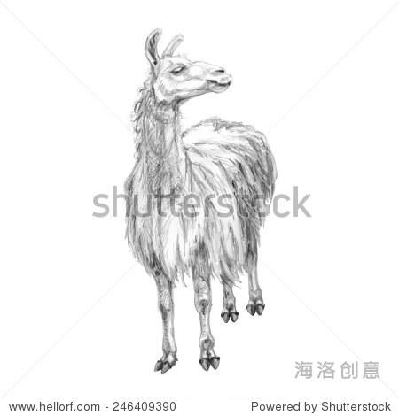 铅笔手绘插图的骆驼.山的动物