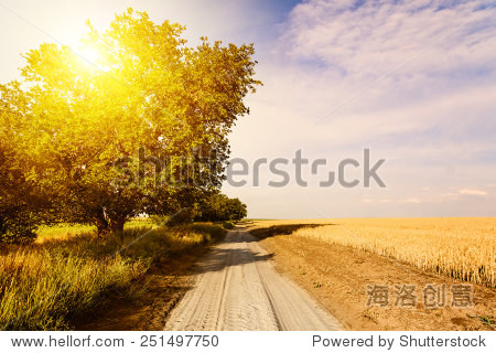dirt road in a field of wheat. a sunny day.