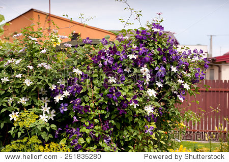 climberplant_clematis flowering climber plant purple white