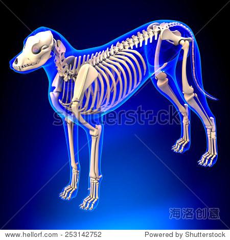 狗的骨架-犬属狼疮后裔解剖学角度视图